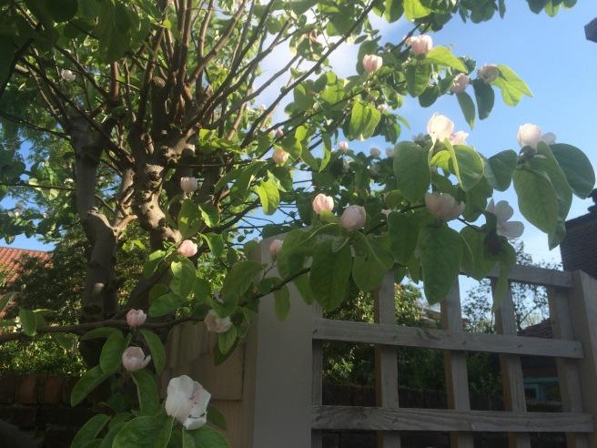 qunice tree 2016